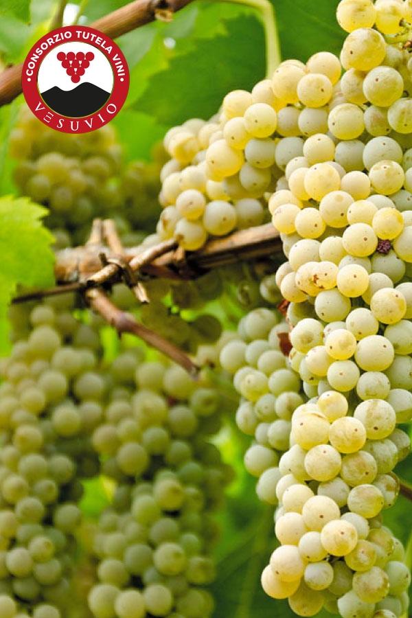 Coda di Volpe | Consorzio Tutela Vini Vesuvio