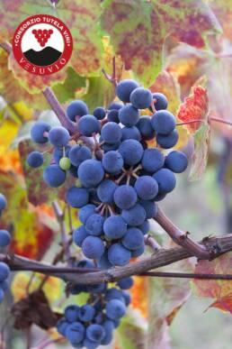 Piedirosso | Consorzio Tutela Vini Vesuvio